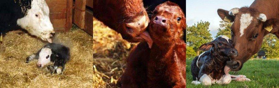 Отел коровы: что это, признаки и симптомы