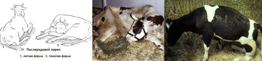 Родильный парез у коров