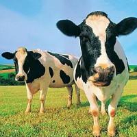 Как выбрать хорошую корову: что нужно знать о породе при выборе