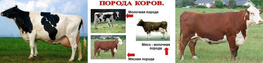 Молочные и мясные коровы