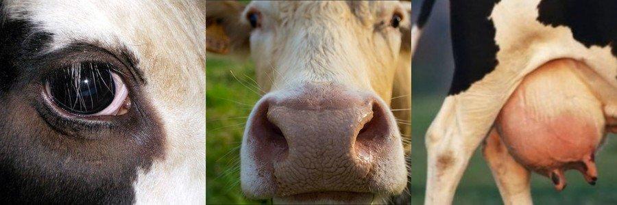 Выбор дойной коровы