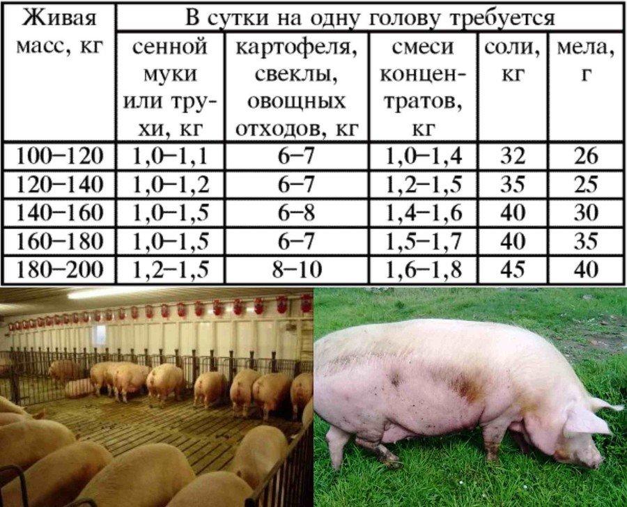 Кормление свиноматок в разные периоды