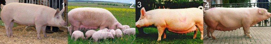 Какую породу свиней выбрать для разведения