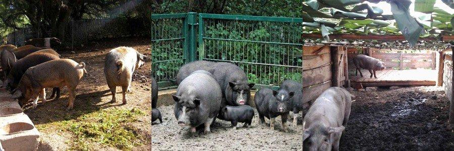 Выгул для свиней
