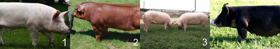 Самые лучшие породы свиней