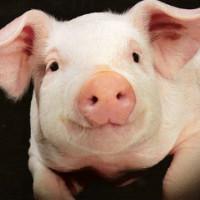 Свиньи болезни