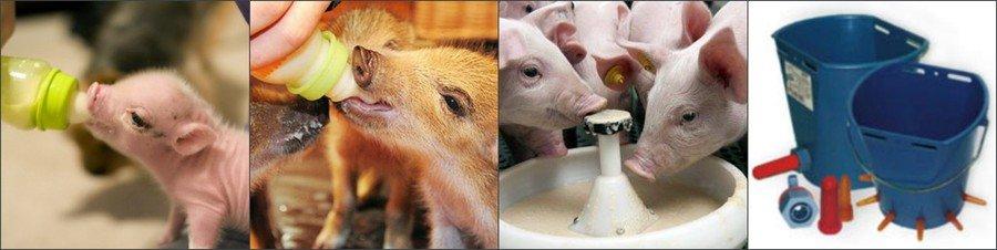 Как кормить поросят без свиноматки