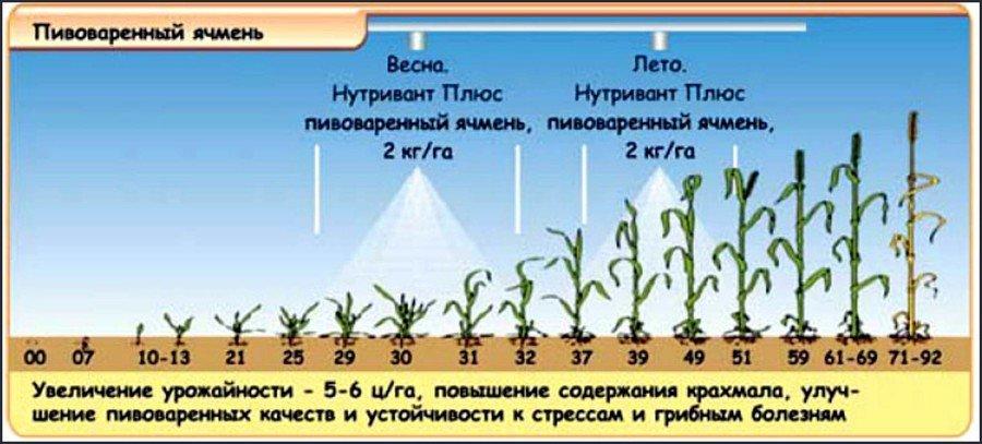 Как выращивать ячмень в домашних условиях?