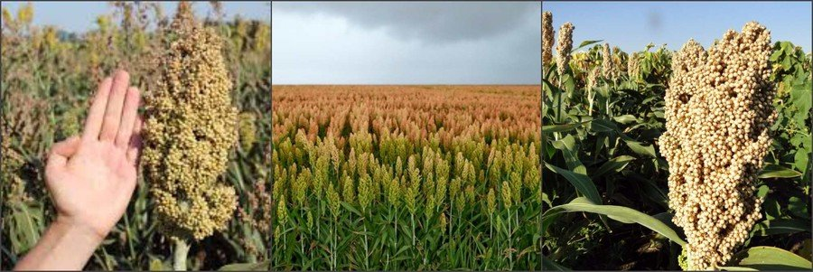 Как выглядит зерновое сорго