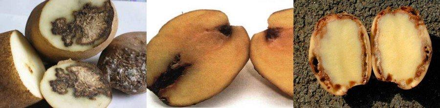 Бурая бактериальная гниль картофеля