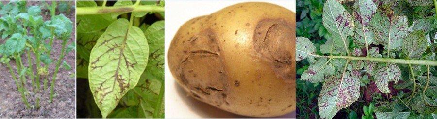 Полосчатая мозаика картофеля