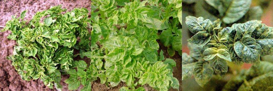 Морщинистая мозаика картофеля