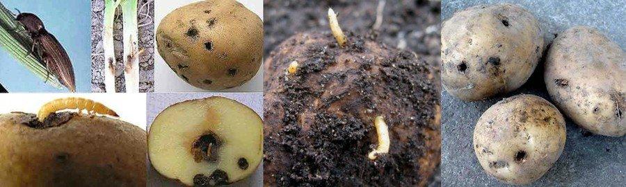 Проволочники на картофеле