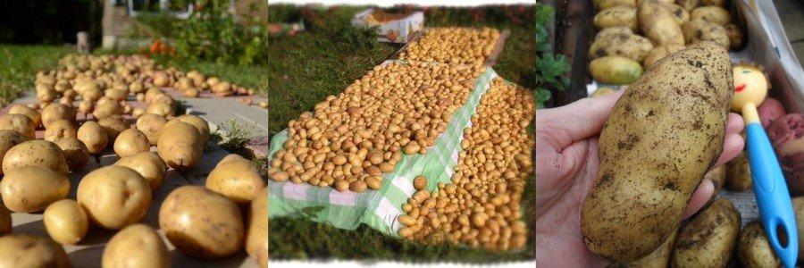 Как подготовить картошку к хранению