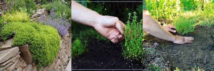 Выращивание тимьяна в открытом грунте 178