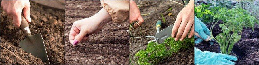Посев петрушки в открытый грунт