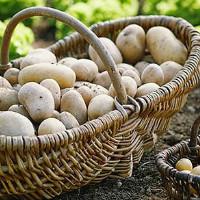 Картофель в бочке и из семян как вырастить в домашних условиях технология