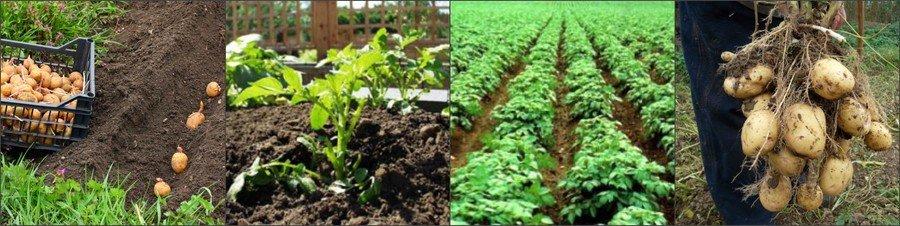Условия выращивания картошки