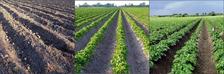 Голландская технология выращивания картошки