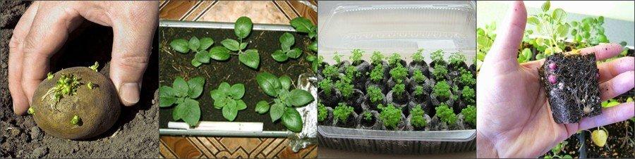 Выращивание картошки из рассады