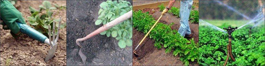 Как ухаживать за картошкой