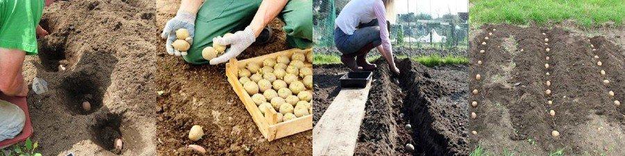Как посадить картошку