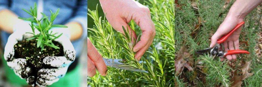 Как вырастить розмарин в открытом грунте