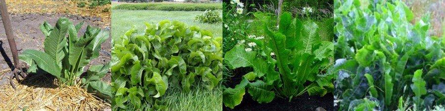 Как вырастить хрен на огороде