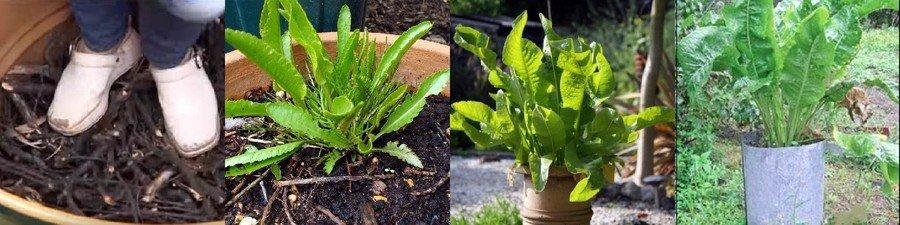 Как вырастить хрен в бочке