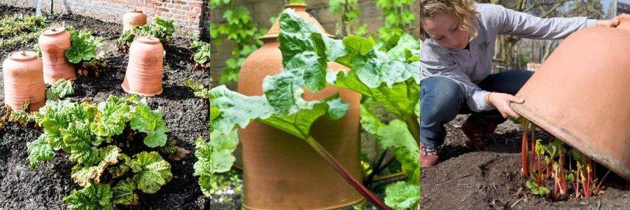Как вырастить ревень под колпаком