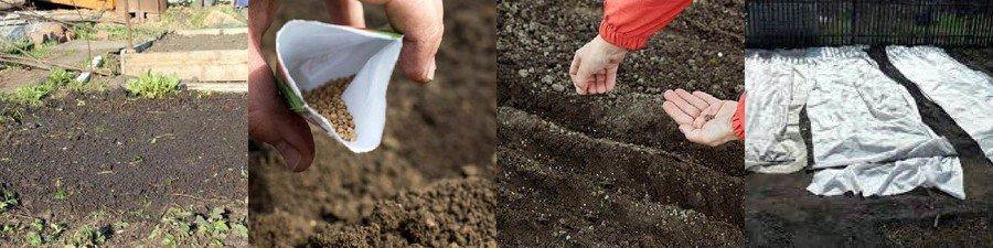 Посев щавеля в открытый грунт