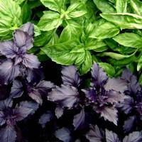 Базилик фиолетовый выращивание из семян