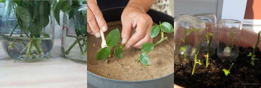 Вырастить розу из черенка пошагово с