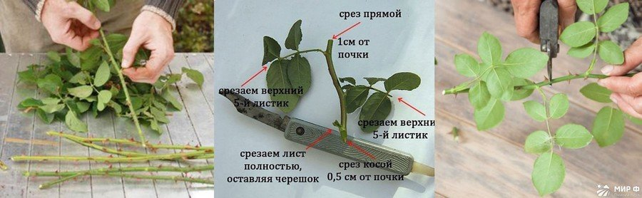 Правильная нарезка черенков роз
