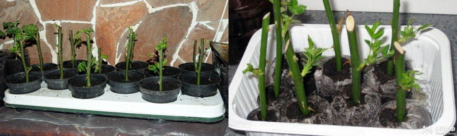 Укоренение черенков роз в горшках