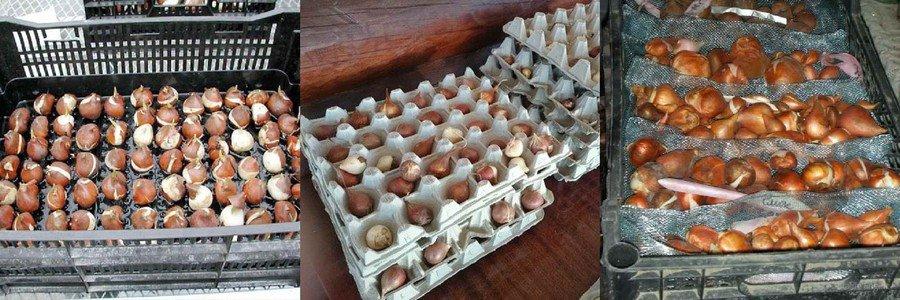 Хранение луковиц тюльпанов