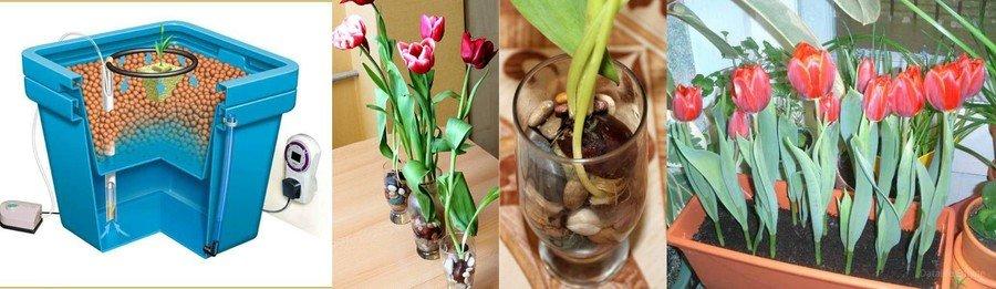 Влажное проращивание тюльпанов