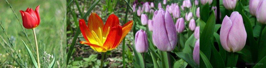 Простые ранние тюльпаны
