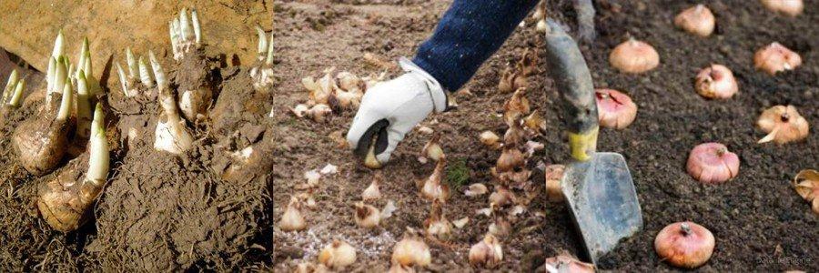 Как хранить луковицы нарциссов в земле