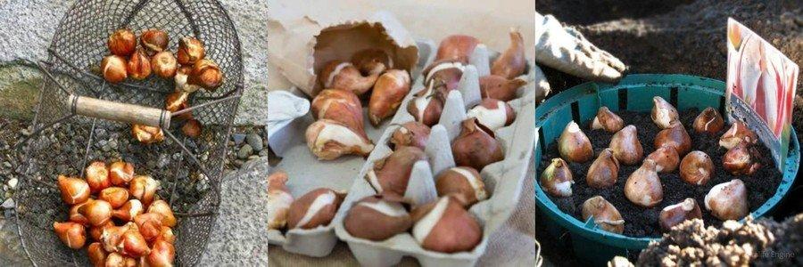 Подготовка луковиц тюльпанов к посадке