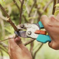 Когда можно обрезать ветки у плодовых деревьев