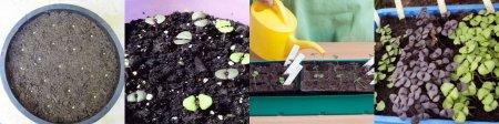 Базилік вирощування з насіння