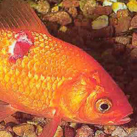 Болезни аквариумных рыбок внешнии признаки