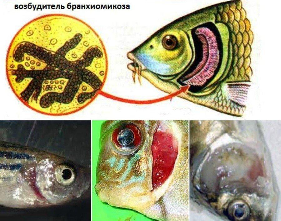 Бранхиомикоз у рыб фото