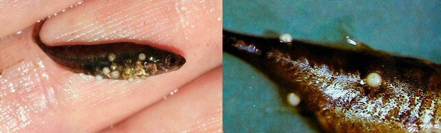 Основные болезни аквариумных рыб