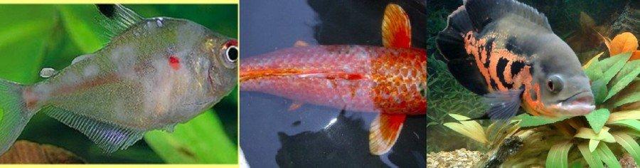 Белокожие рыб фото