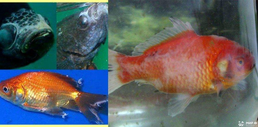 Щелочная болезнь у рыб