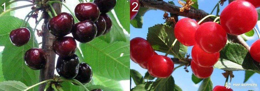 Какие бывают виды вишни