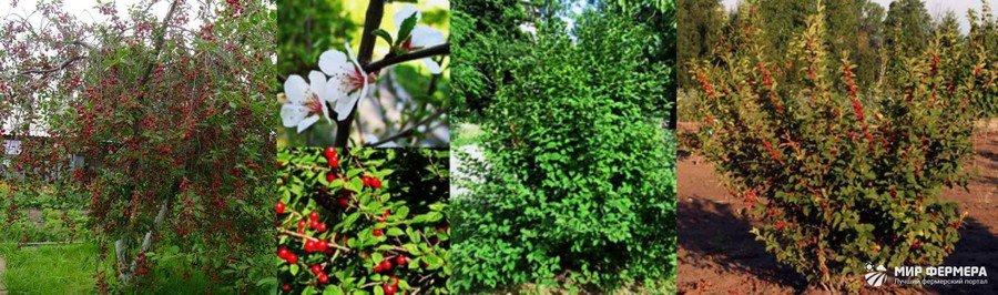Кустовая вишня фото