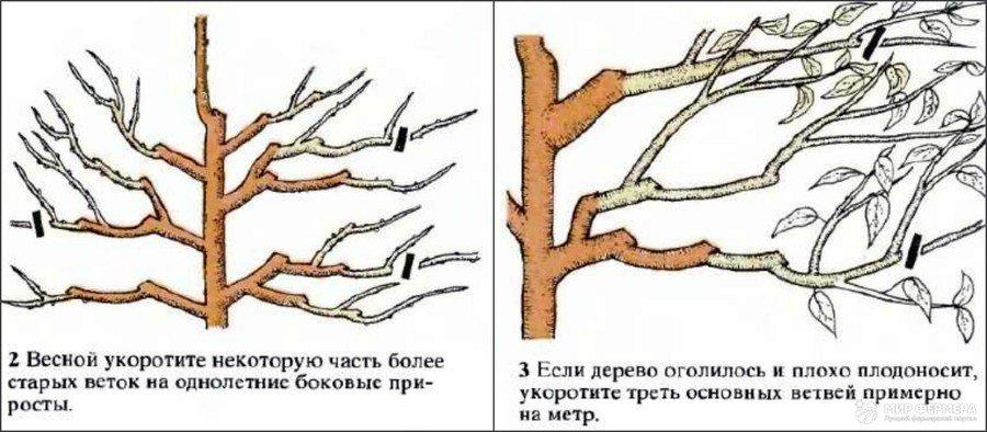 Обрезка вишни схема